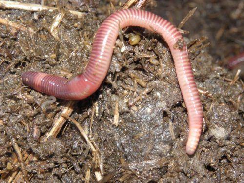 Красные черви